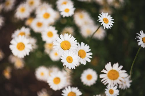 Free stock photo of close up flower, close up shot, common daisy