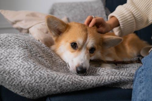 Brown Dog Lying on Fabric Sofa