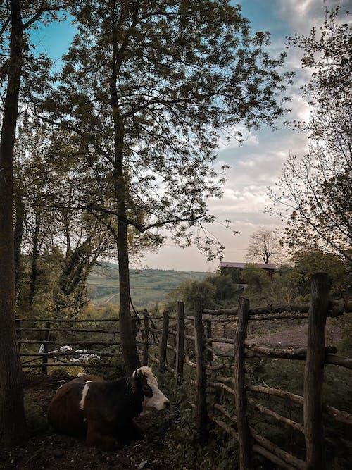Free stock photo of clear blue sky, cow, farm animal