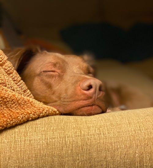 Free stock photo of dog, dog sleeping, dog sleeping on couch