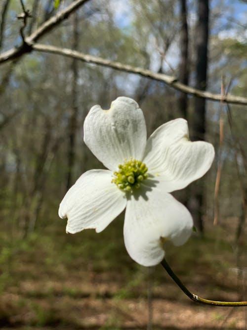 Free stock photo of dog wood, dogwood, dogwood bloom