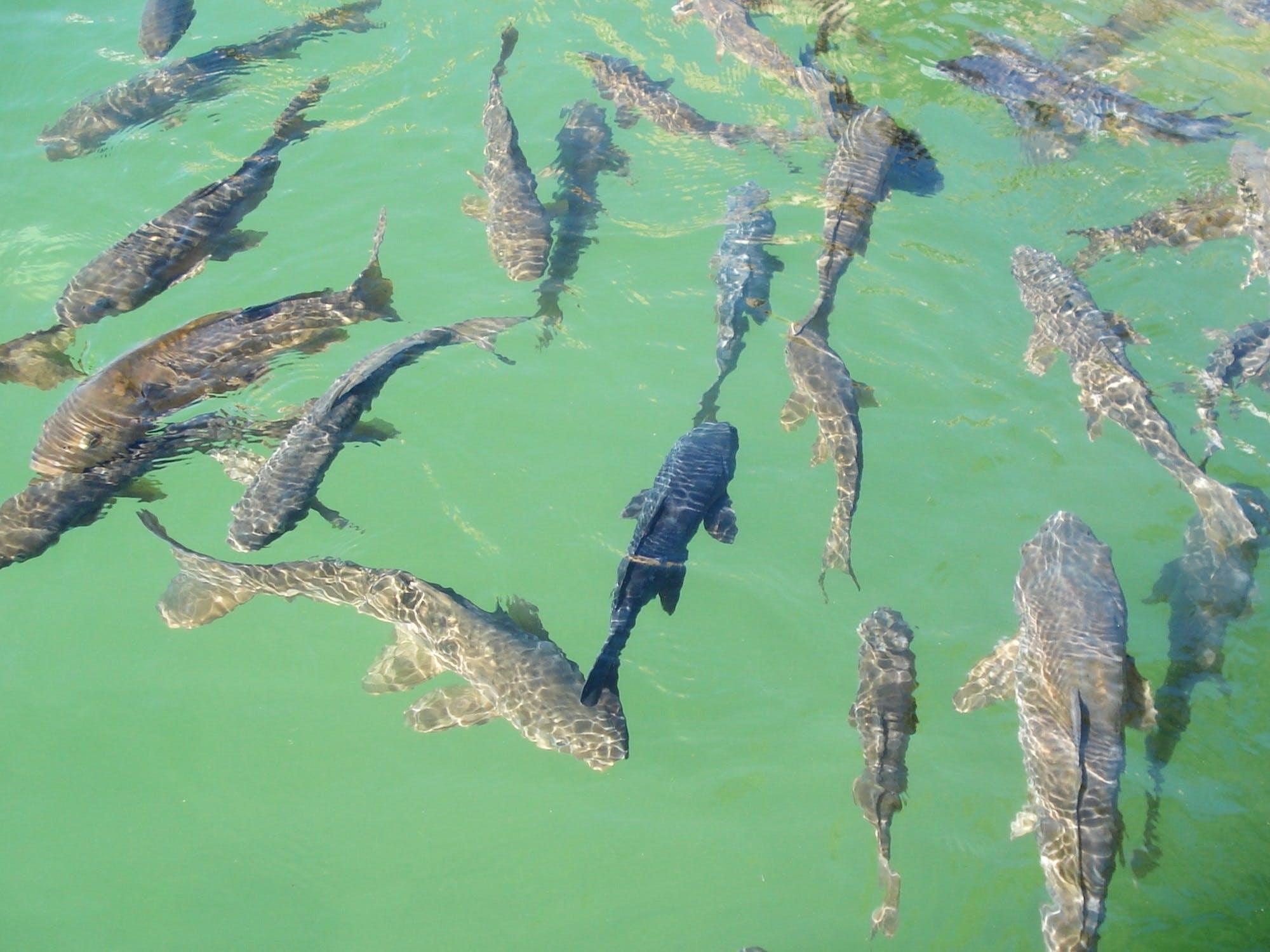 Free stock photo of fish, detail, koi