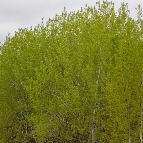 bigtooth 아스펜 나무, grandidentata, populus의 무료 스톡 사진