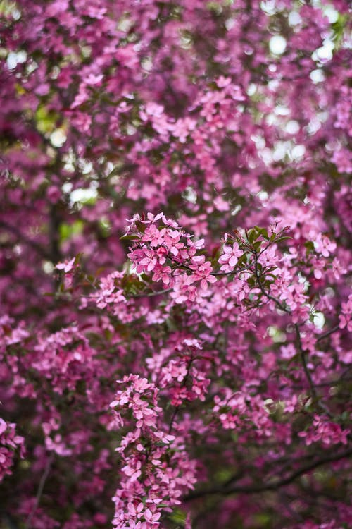 Close-Up View of Pink Cherry Blossoms