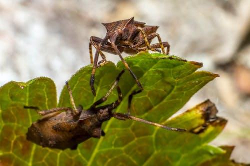 Free stock photo of animal, bug, Coreus marginatus