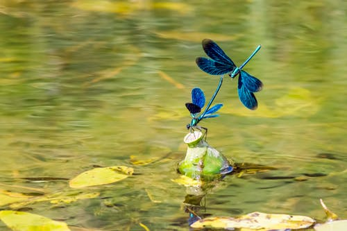 Blue Dragonfly on Green Leaf in Water