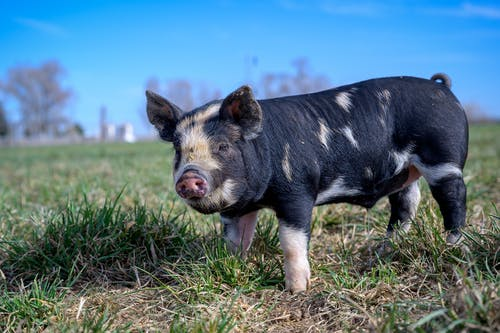 Black and White Pig on Green Grass Field