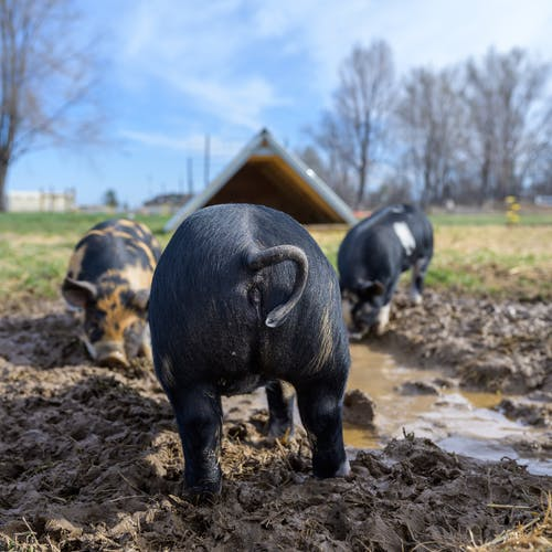 Free stock photo of agriculture, animal, cattle