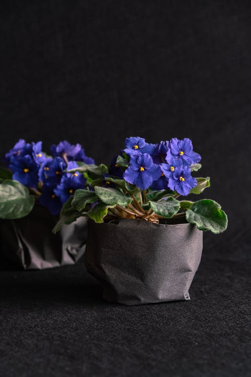 Purple Flowers in Gray Pot