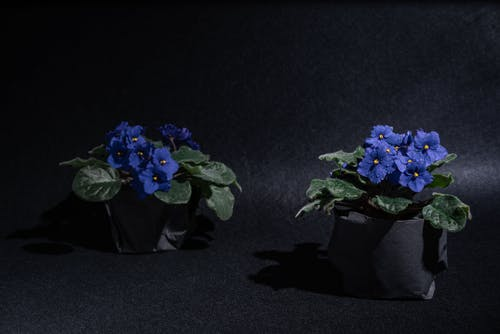 Blue Flowers in Black Pot
