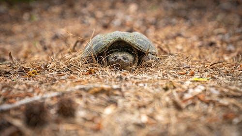 Darmowe zdjęcie z galerii z trzaskanie żółwia, żółw