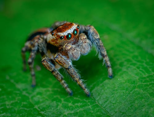 Hairy Red and Gray Jumping Spider on Green Surface