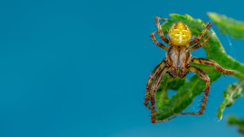 Brown and Yellow Spider on Blue Background