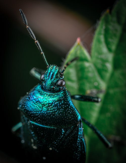 Blue Beetle on Green Leaf in Close Up Photography
