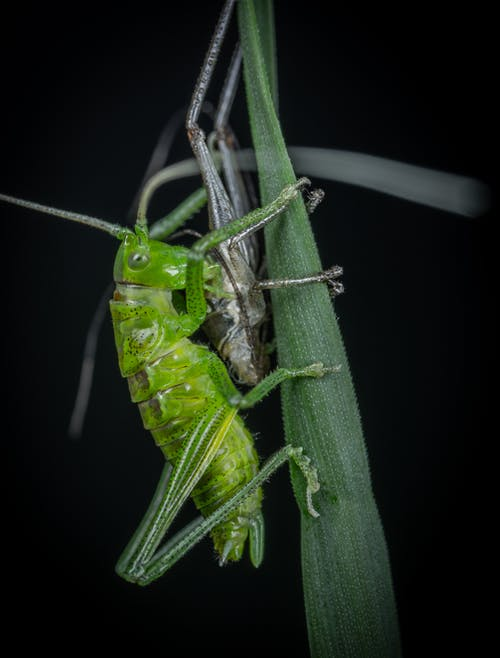 Green Grasshopper on Green Leaf in Close Up Photography