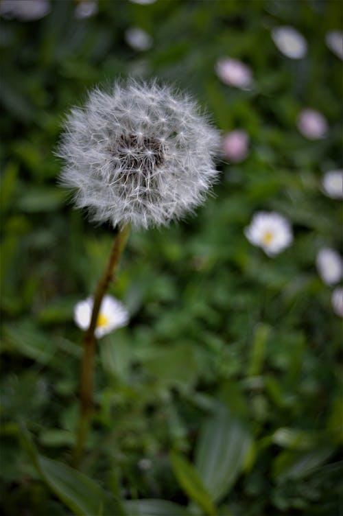 Close-Up Shot of a Dandelion in Bloom