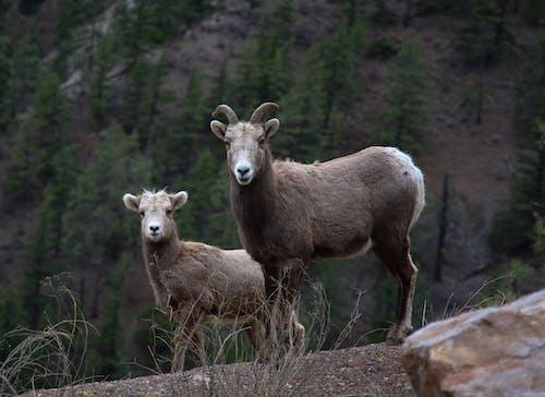 Brown Ram on Brown Rock