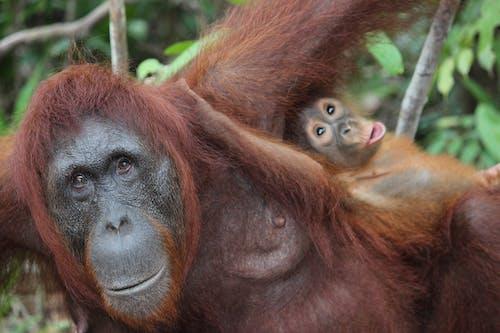 Free stock photo of animal, animal friends, animal planet orangutan island