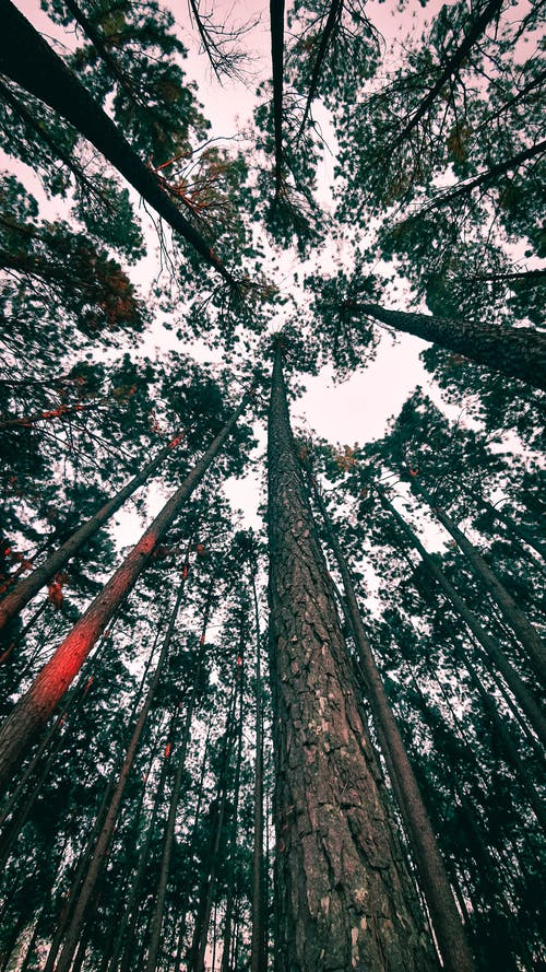 Low Angle Photography of Tall Trees
