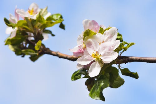 Gratis stockfoto met appel, apple, blad