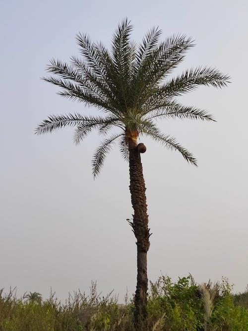 Free stock photo of khjoor, palm, palm tree
