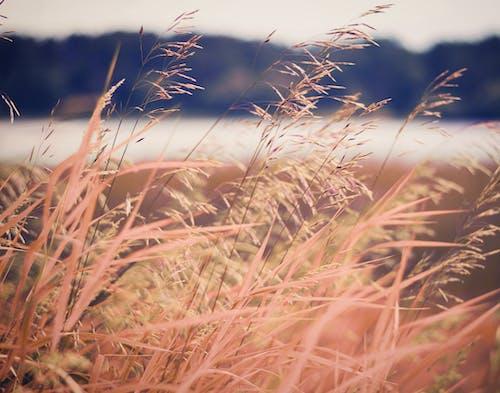 Darmowe zdjęcie z galerii z brązowa trawa, chwast, jesień