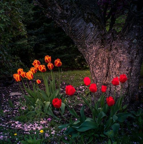 チューリップ, フラワーズ, 春の無料の写真素材