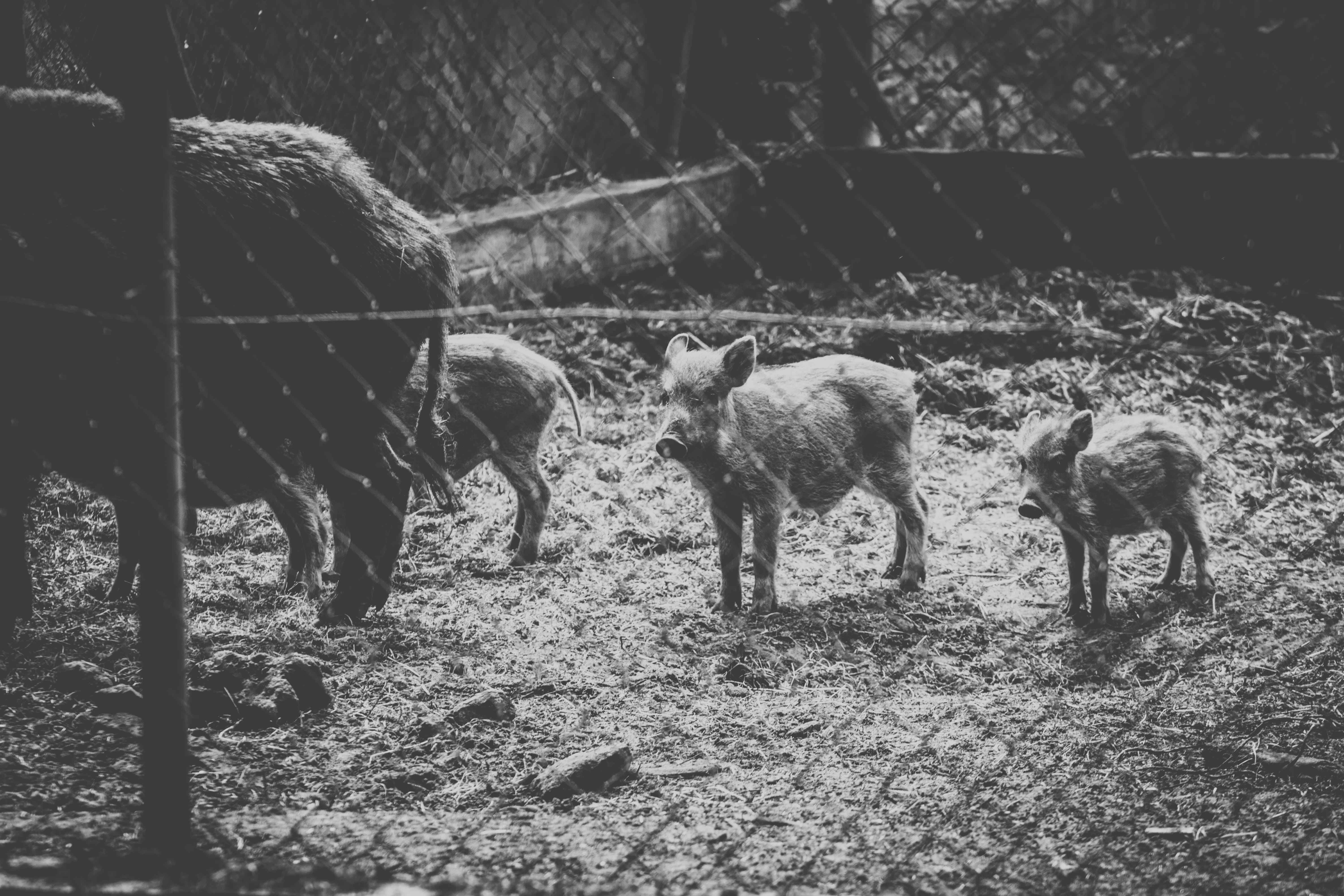 Grayscale Photo of Wild Boars