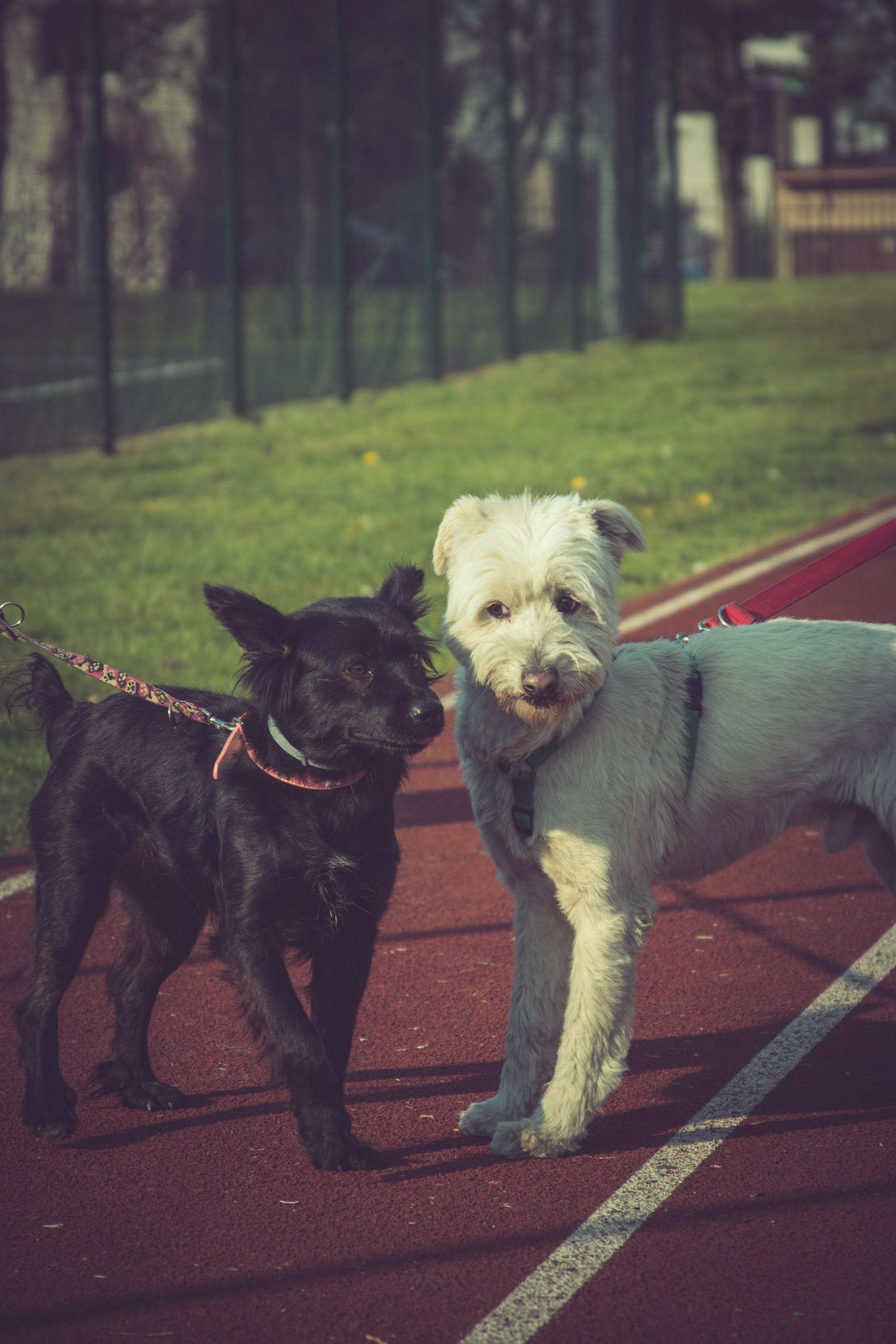 Two Black and White Dogs in Track