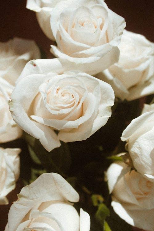 Free stock photo of affection, anniversary, beautiful flower