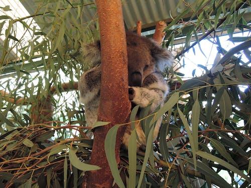 คลังภาพถ่ายฟรี ของ หมีโคอาล่า