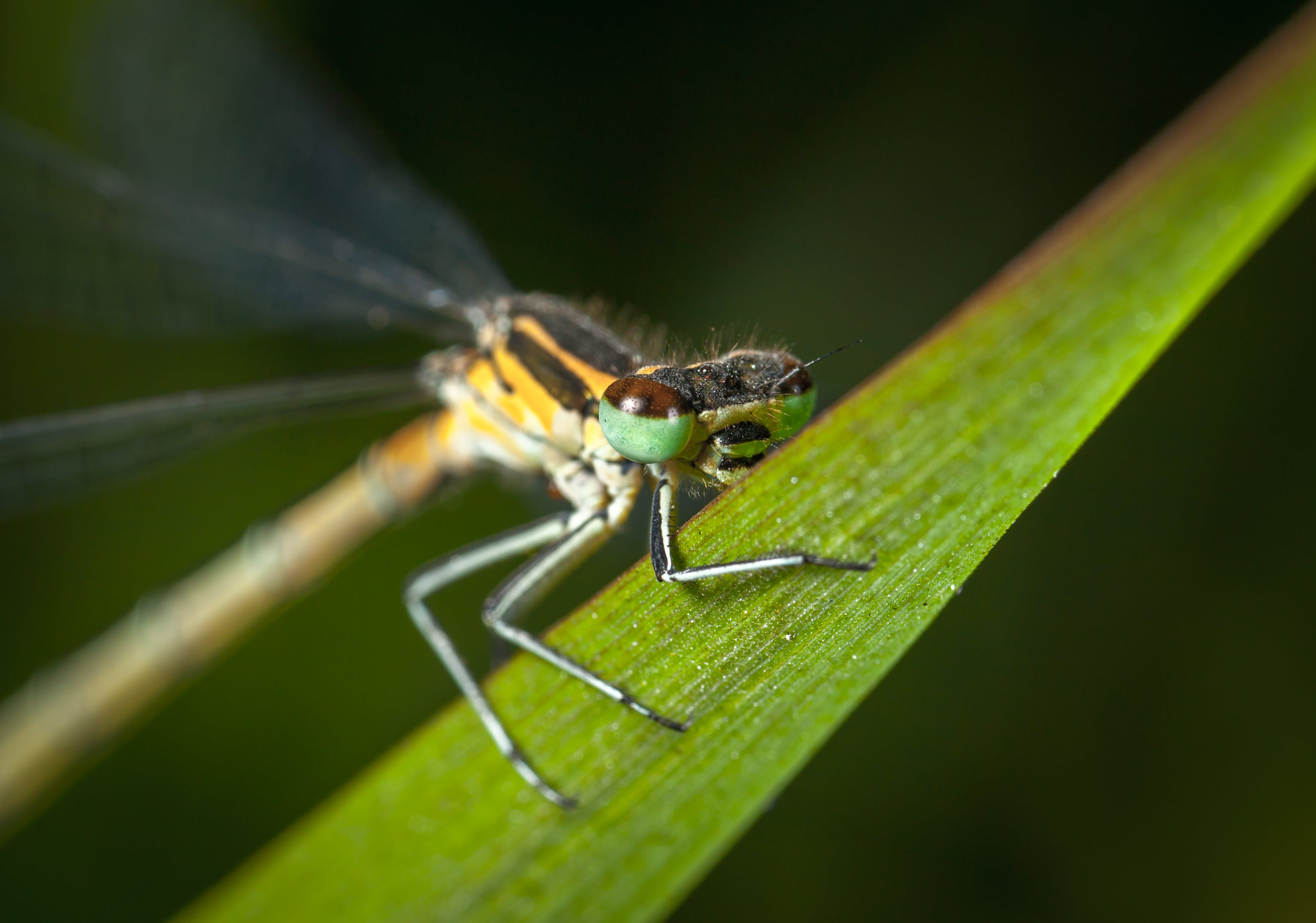 Selective Focus Photography of Green and Yellow Dragonfly Perched on Green Leaf