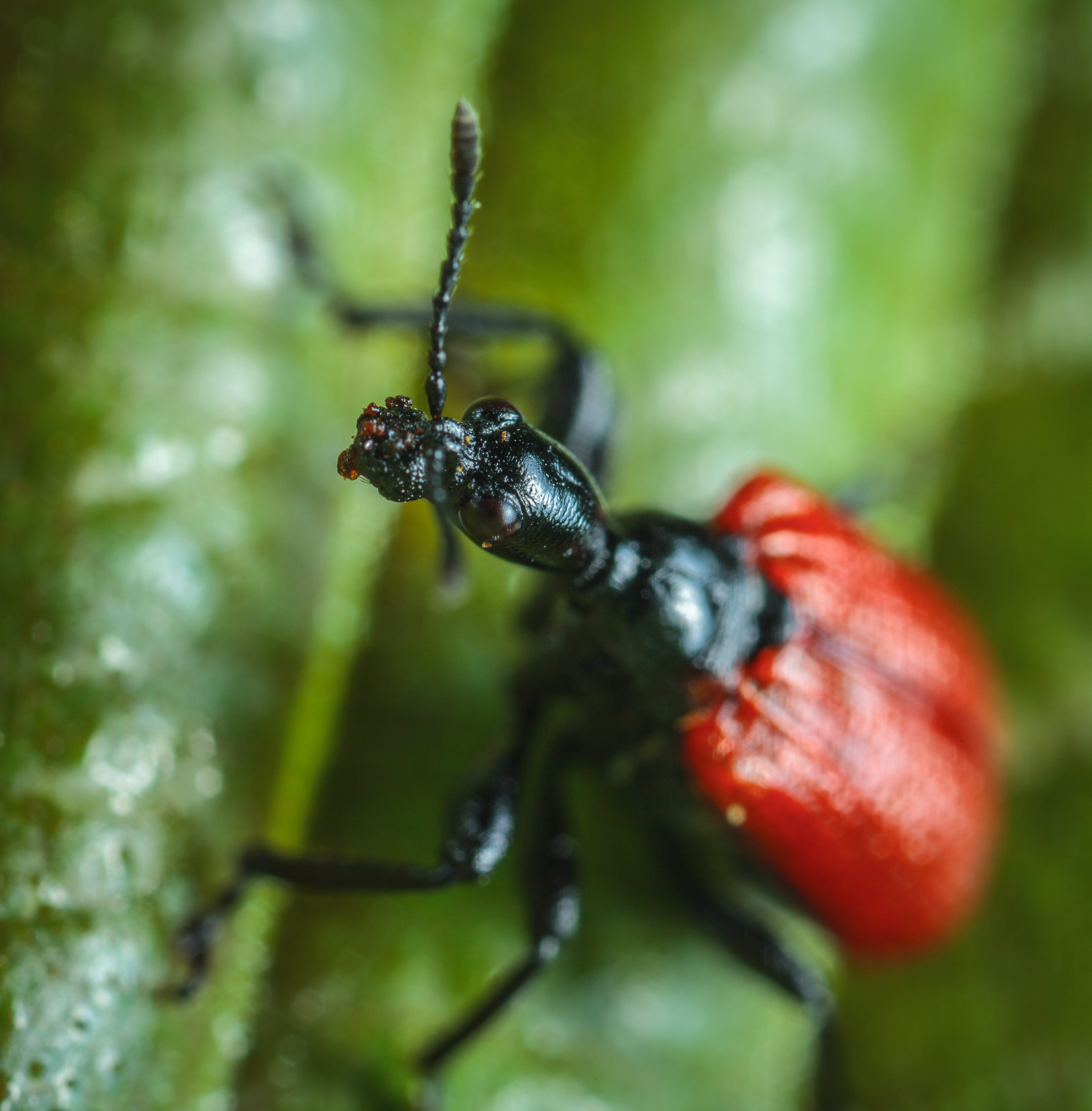 Red and Black Insect