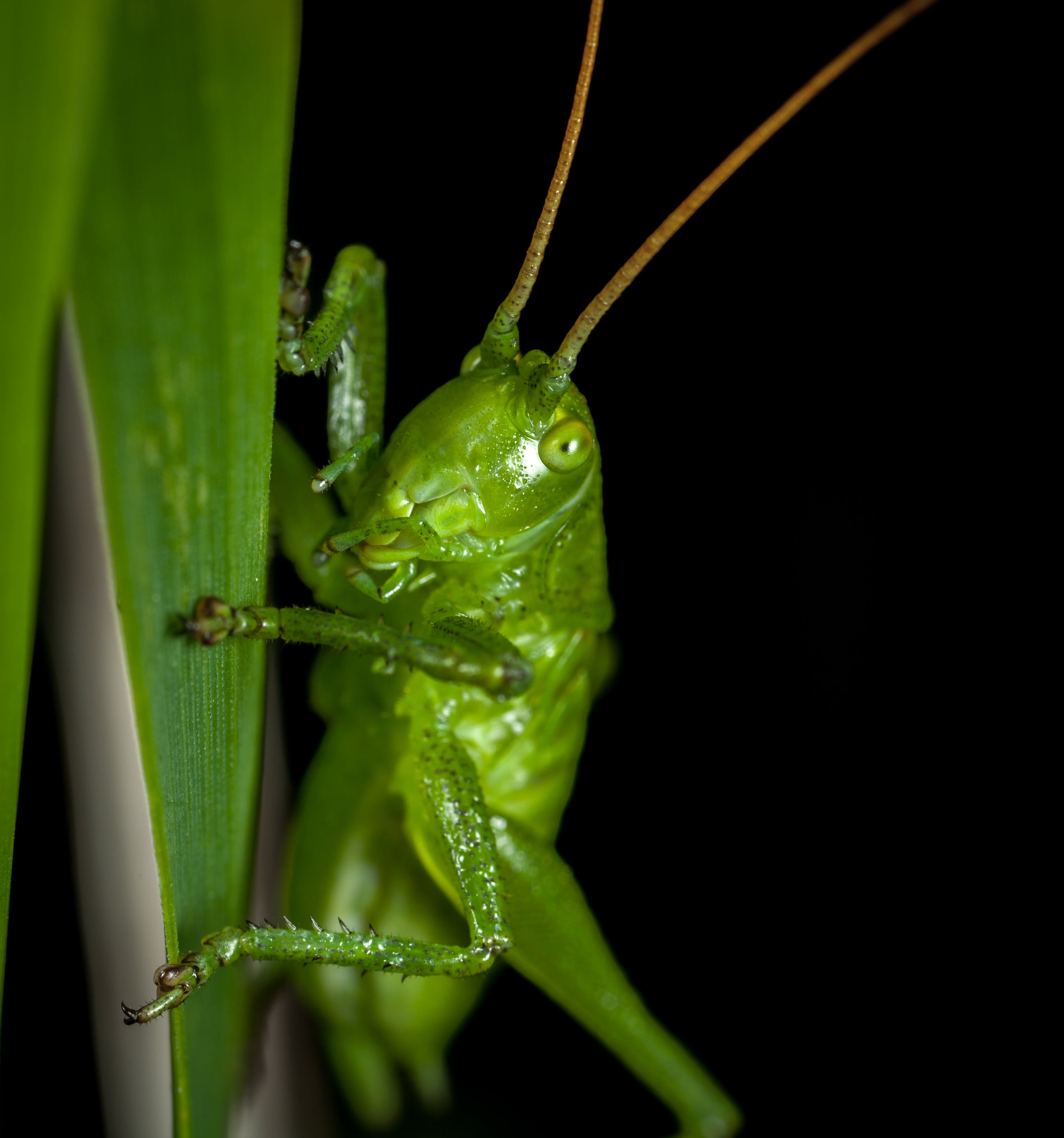 Close-up Photography of Grasshopper Perched on Green Leaf