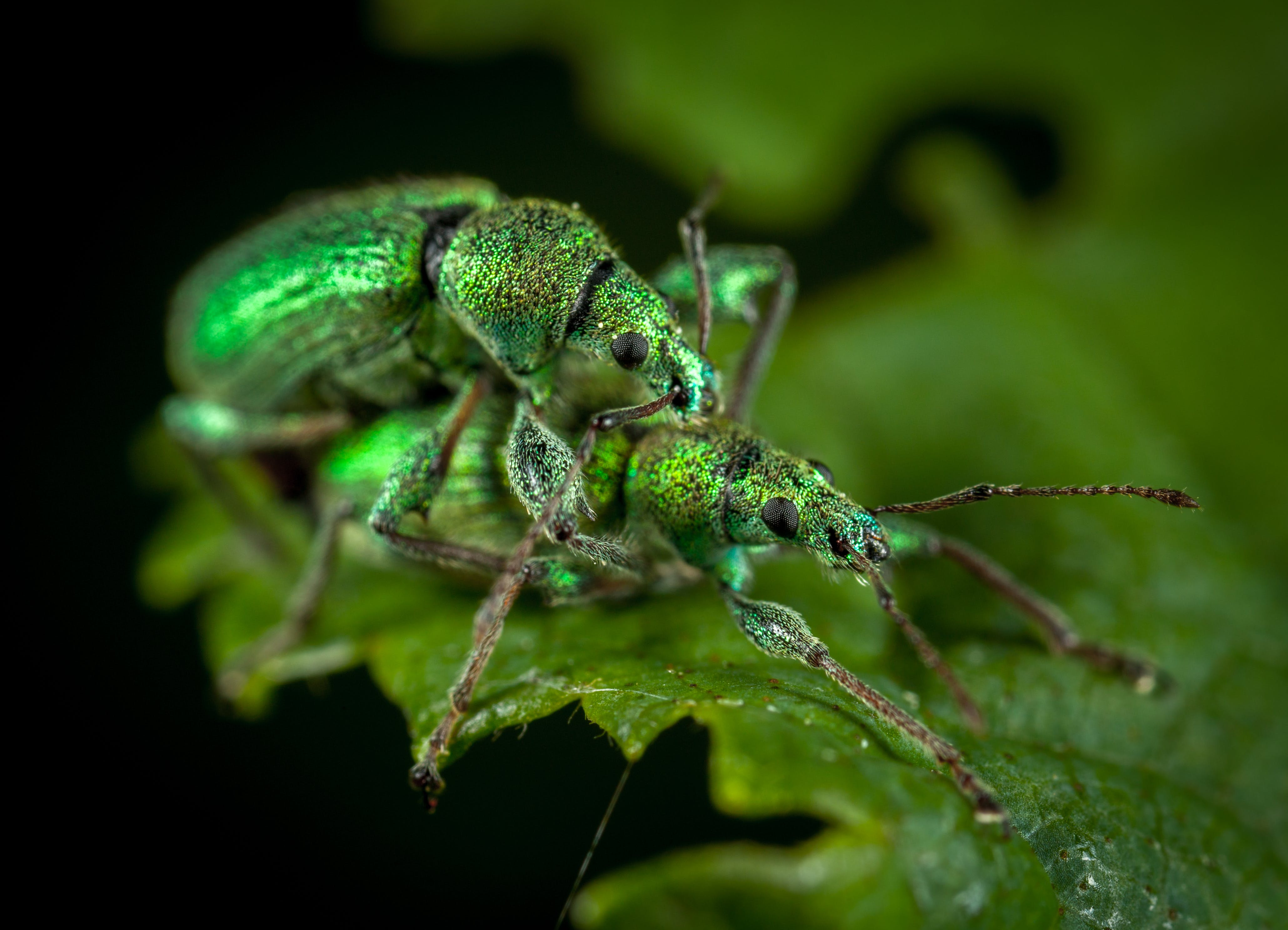 Close Up Photo of Two Jewel Weevils on Green Leaf