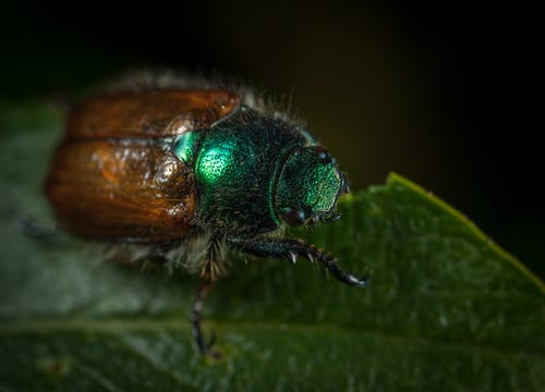 Macro Photography of Japanese Beetle Perched on Green Leaf