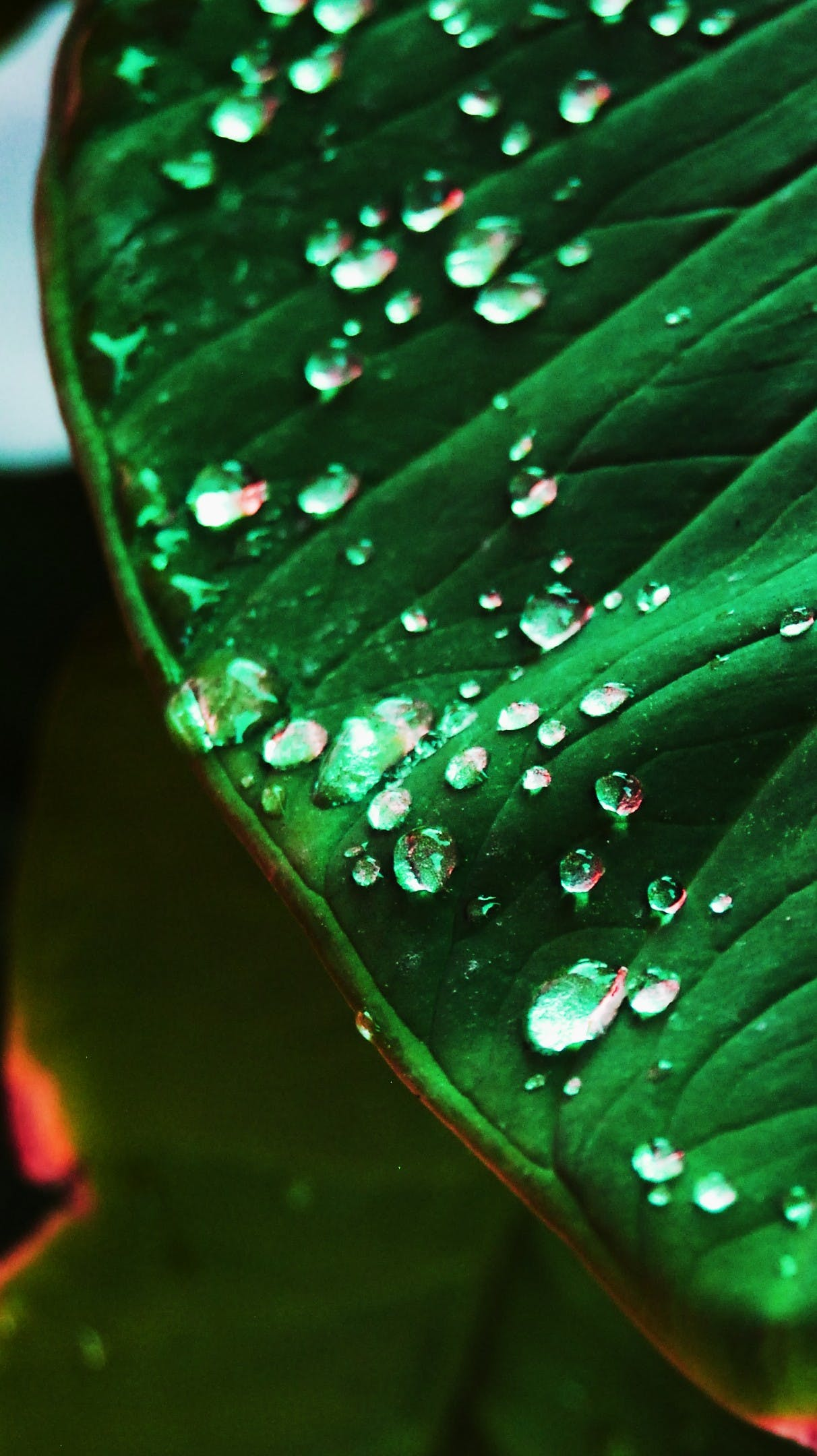 Free stock photo of leaf water drops green