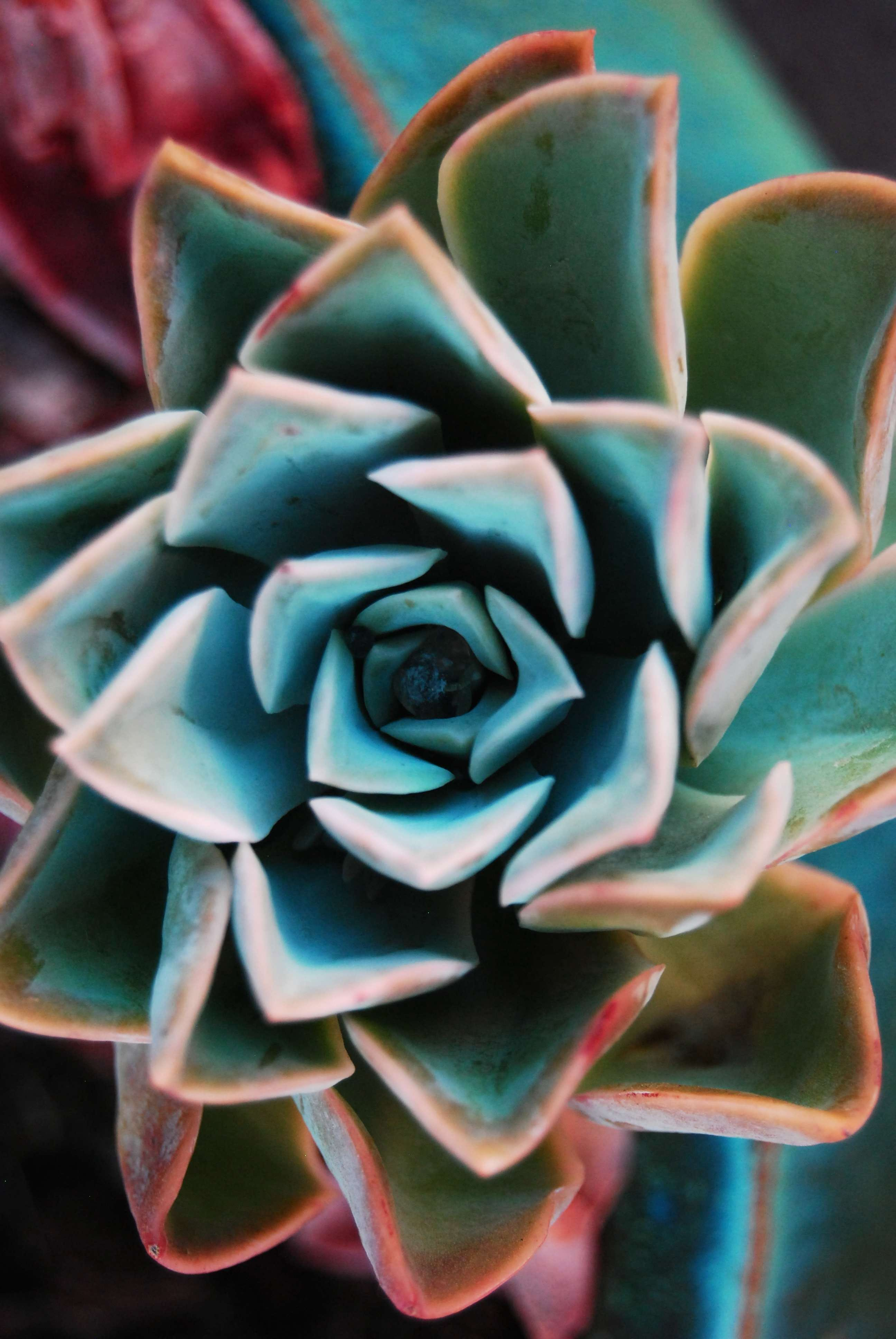 Free stock photo of Echeveria Rock Rose Green Red Turquoise