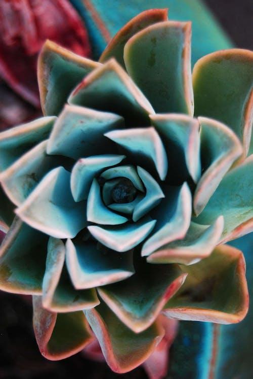 Gratis lagerfoto af echeveria rock rose green rød turkis
