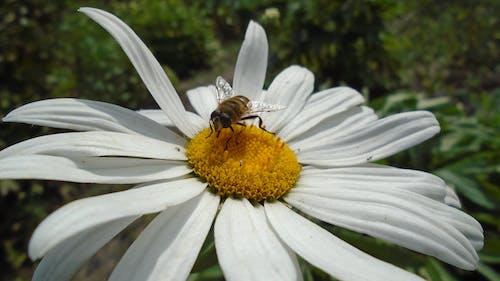 Безкоштовне стокове фото на тему «Бджола, білий, впритул»
