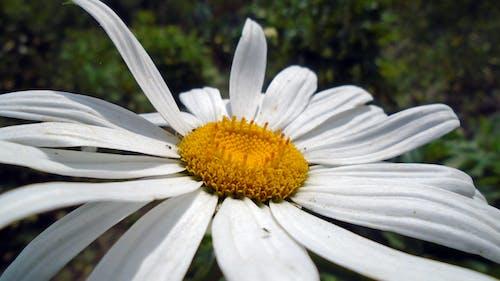 Безкоштовне стокове фото на тему «білий, жовтий, квітка»