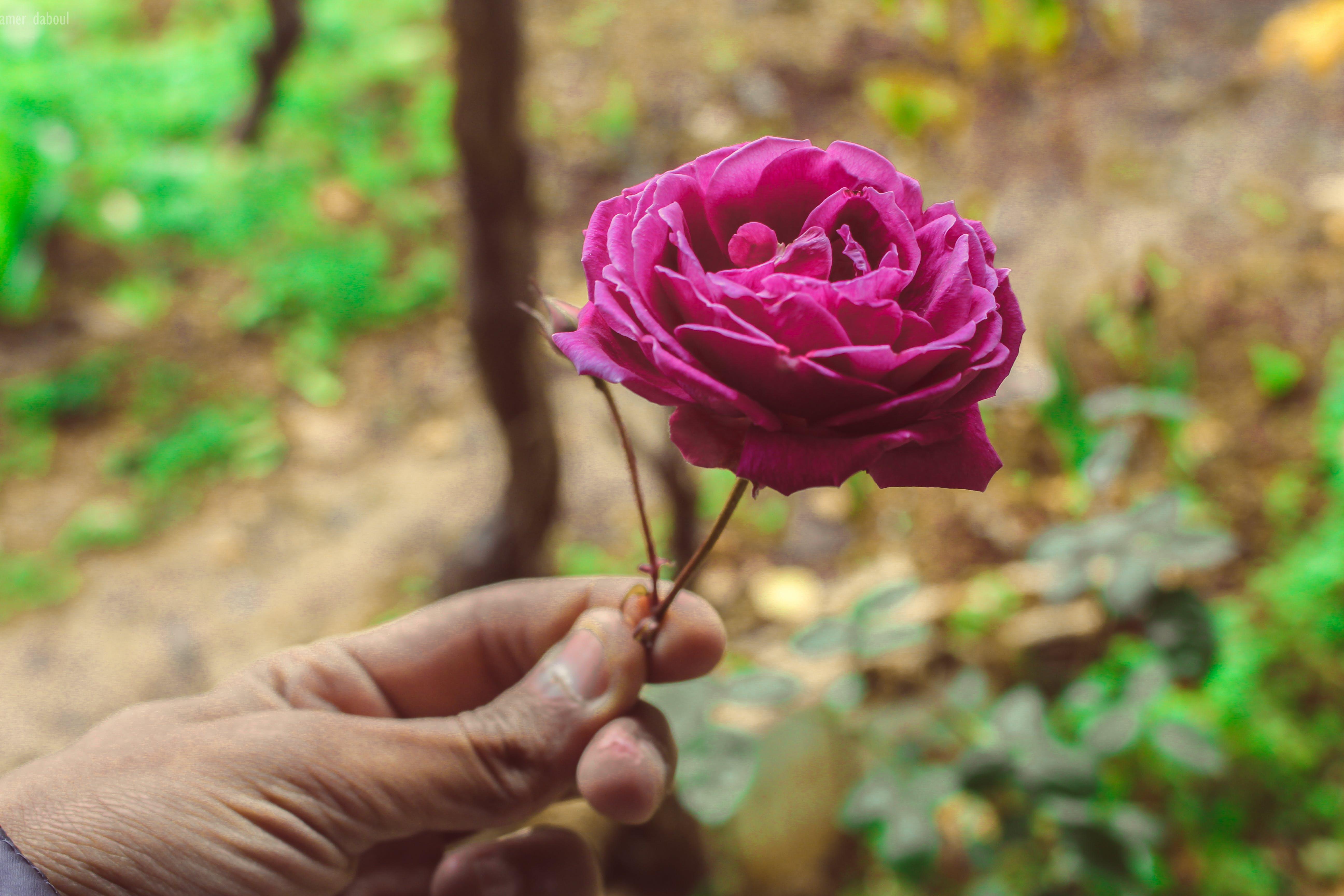 Free stock photo of man, love, gift, rose