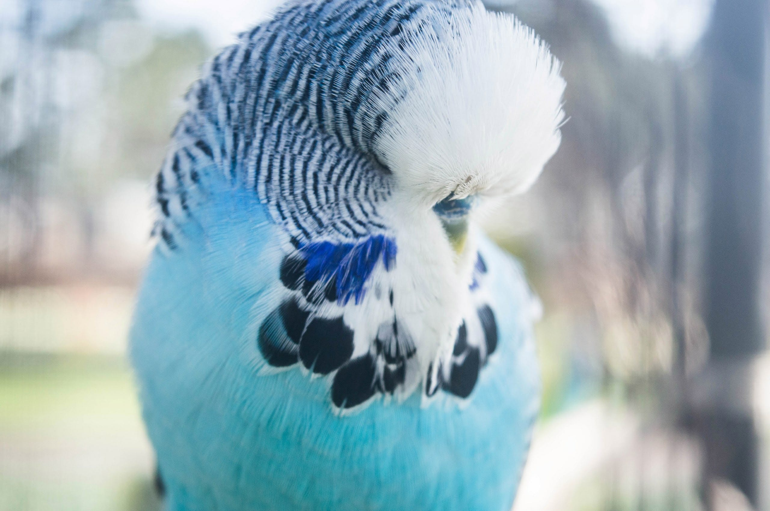 Free stock photo of bird, budgie