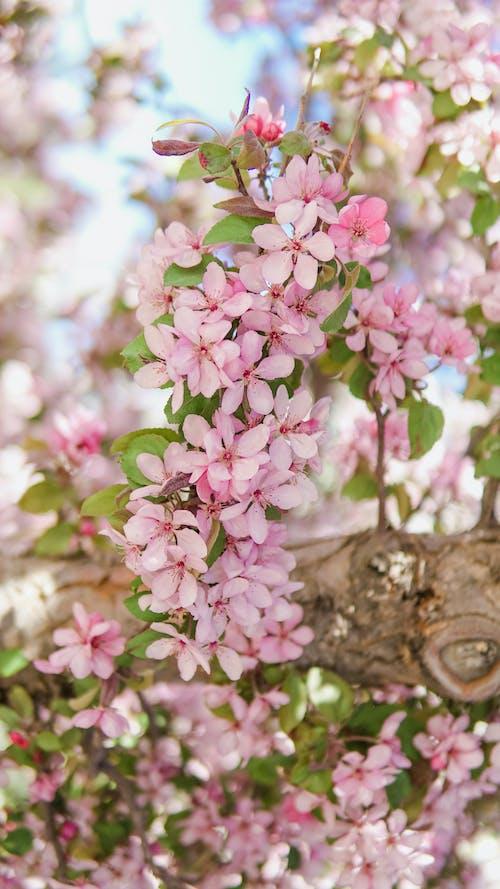 ピンク, フラワーズ, 咲くの無料の写真素材