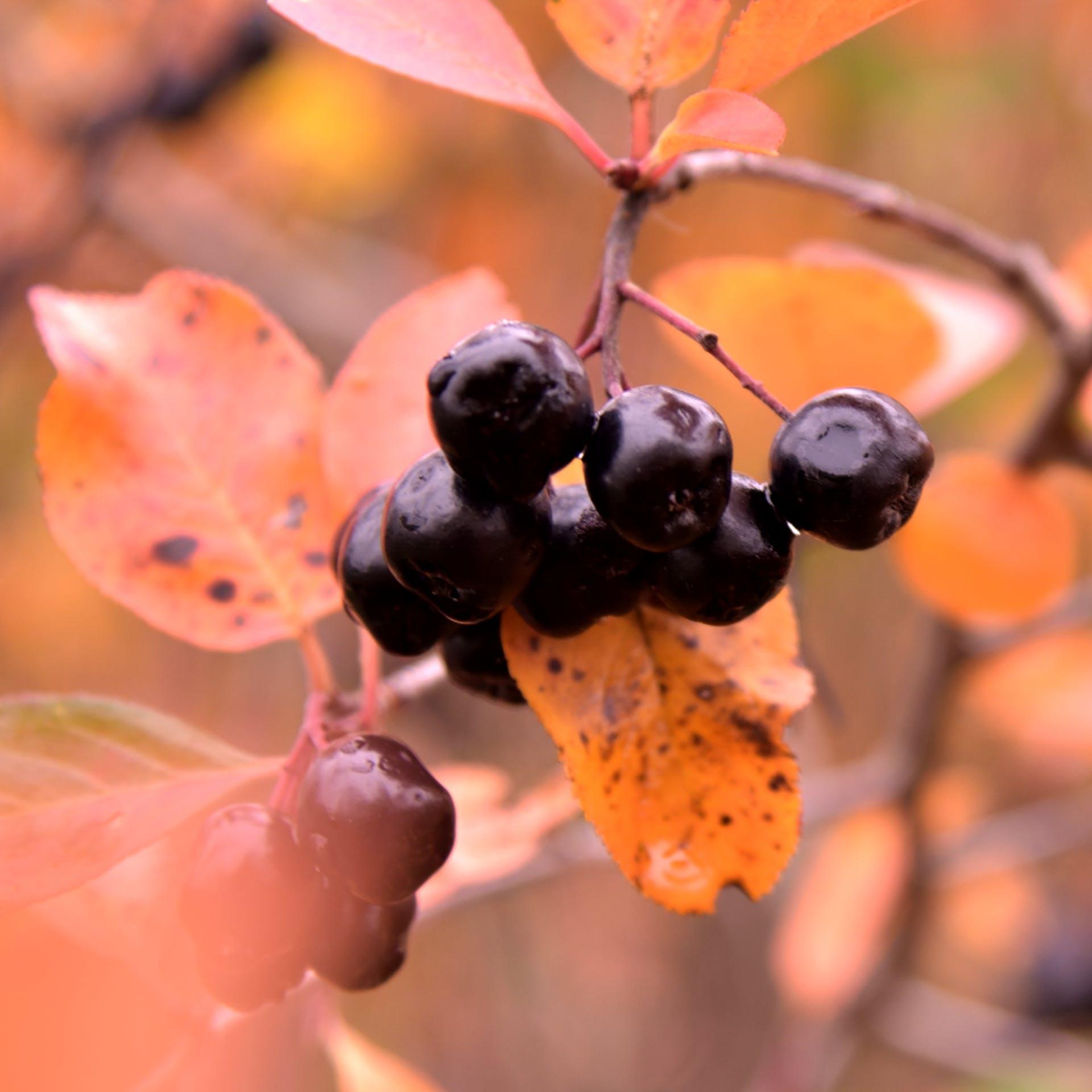 Bundle of Round Black Berrries Closeup Photo