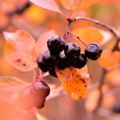 Foto d'estoc gratuïta de arbre, baies, colors, creixement