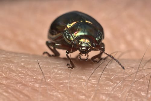 Free stock photo of close up, golden beatle on my hand