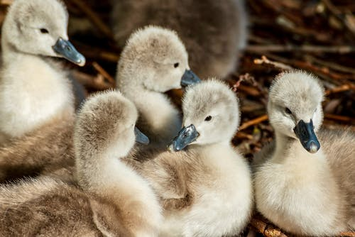 White Ducklings on Brown Grass