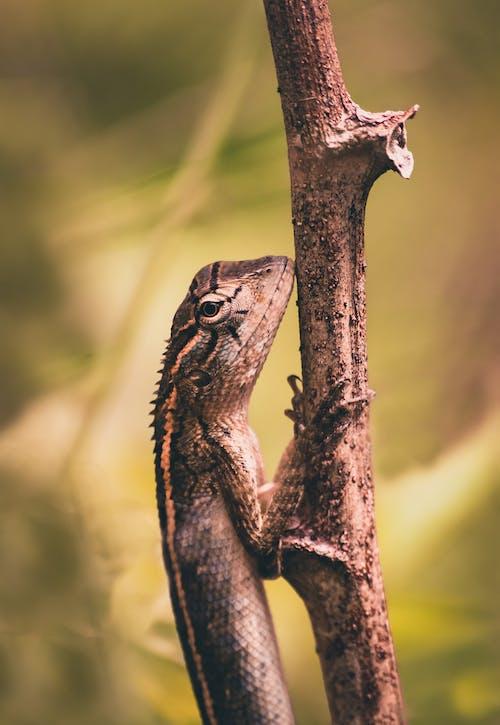 Photos gratuites de agamid, animal, branche d'arbre