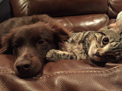 Gratis lagerfoto af behåret, hund, hvile, indendørs